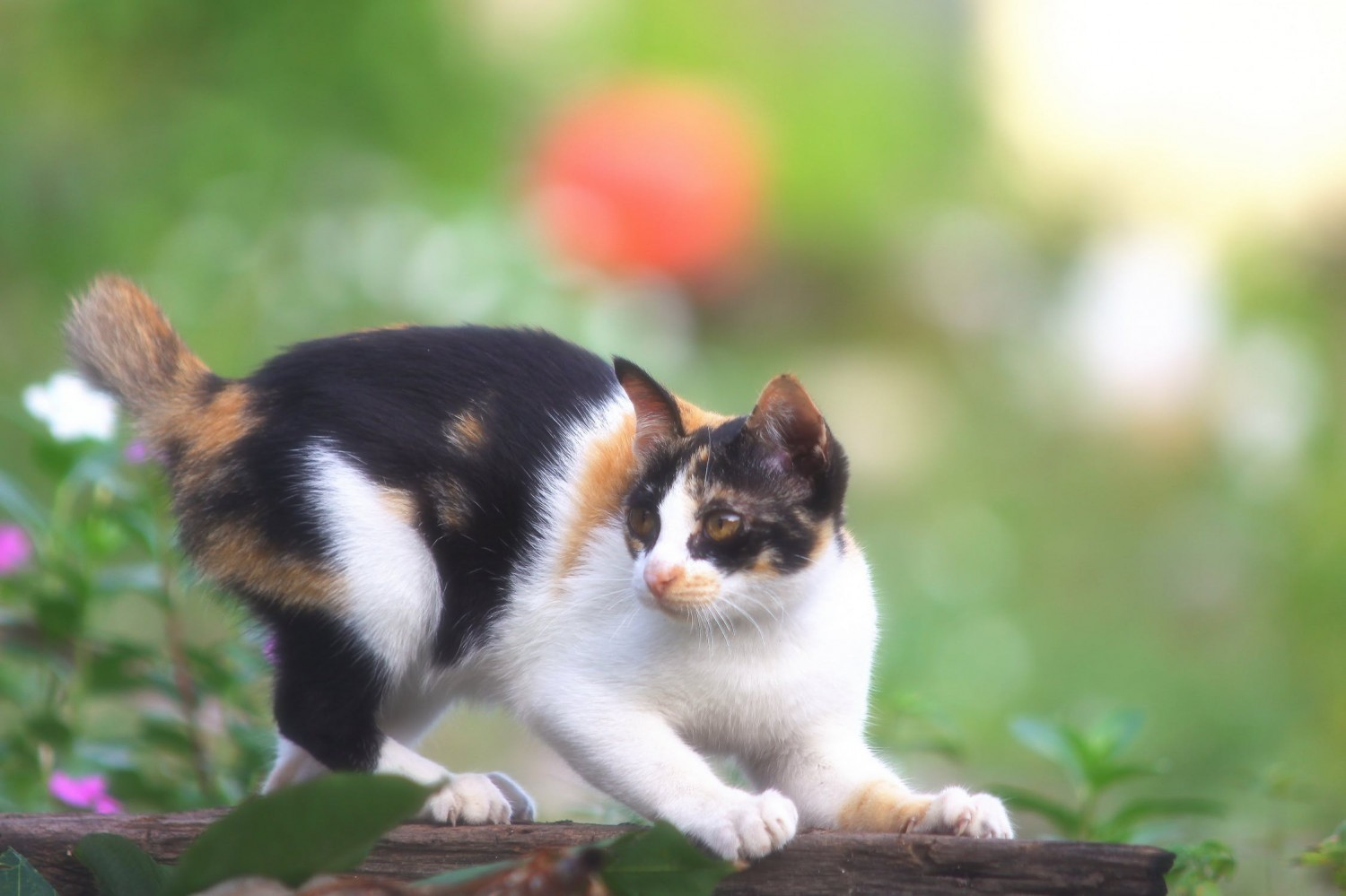 Short tailed calico cat scratching outside